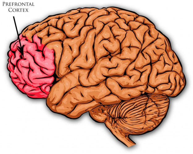 The prefrontal cortex, which wraps around the front of your brain.